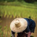 Rice Beauty